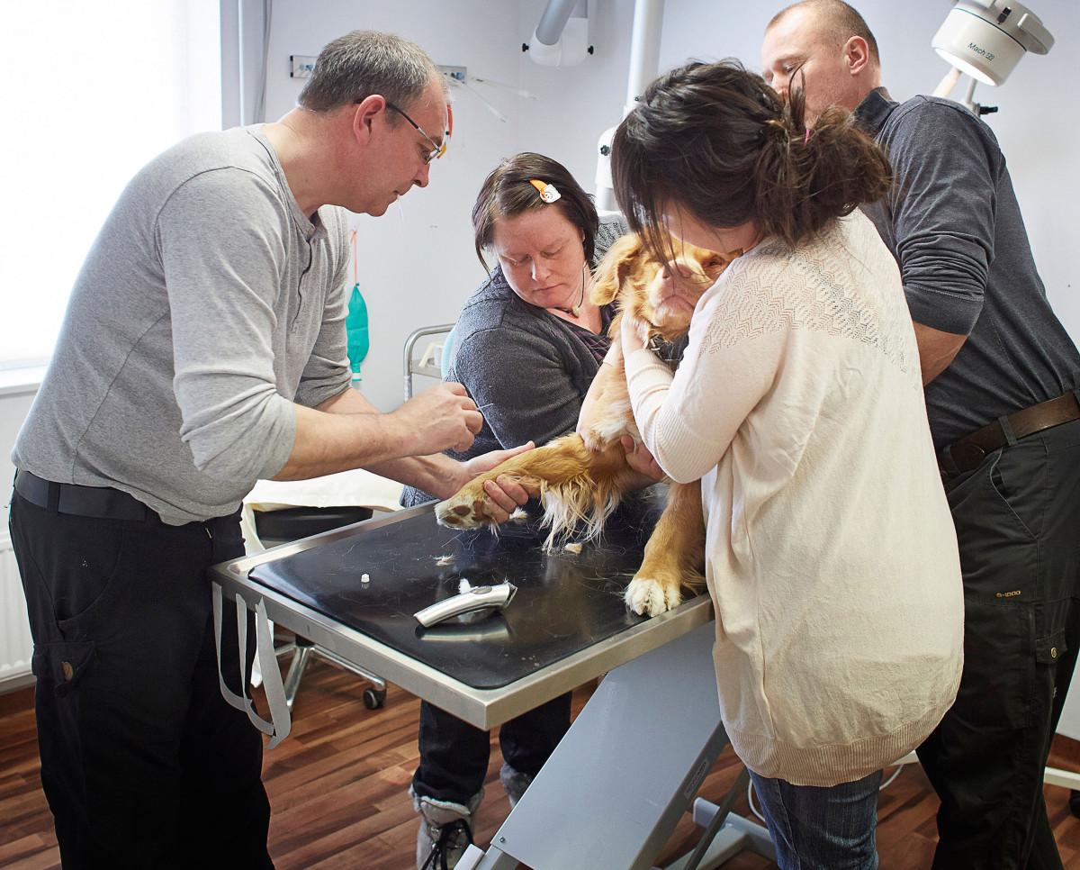 Dyrlæge Jens Eslau skal operere på hanhunden Kasik., men den er ikek så tilfreds med at få lagt en kanyle ind, så han får hjælp af fv: Monika Steensdatter, Sara Johnsen ( begge frivillige) og dyrlæge Flemming Jan, til at hodle Kasik sp de kan få lagt nålen fint ind i forbenet.