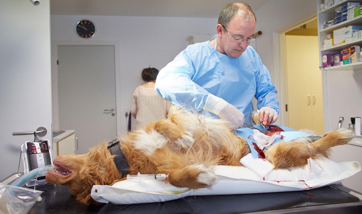 Dyrlæge Jens Eslau laver en kasteration på hanhunden Kasik.