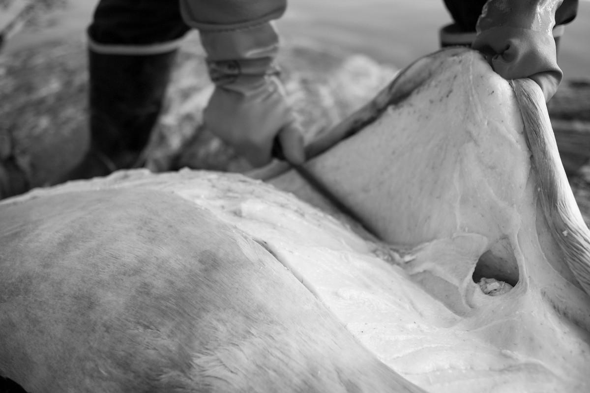 sælflænsning, ukkusissat, grønlandssæl All Rights belong to: Pressphotographer Ulrik Bang boks 2193 3900 Nuuk Greenland phone: (+299) 591282 (mobil) (+45) 46907121 (DK ip phone) E-mail: ulrik@bang.gl www.bang.gl
